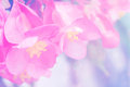 Abstract soft sweet pink flower background from begonia flowers Royalty Free Stock Photo