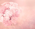 The abstract soft sweet pink flower background from carnation flowers Royalty Free Stock Photo