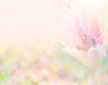 Abstract soft sweet pink flower background from Lily flowers Royalty Free Stock Photo