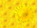 Abstract Spring Yellow chrysanthemum flowers close up on blur flower background. This has clipping path Royalty Free Stock Photo