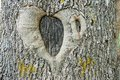 Abstract symbol of love and fidelity on a tree the natural image in the form heart trunk as an Royalty Free Stock Photo