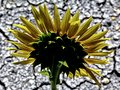 Abstract yellow sunflower head with scorched soil background in bright summer sunlight
