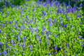 Abstract violet flowers on field at Rajapruk park. Royalty Free Stock Photo
