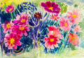 Abstract watercolor original painting  colorful of mexican diasy flowers. Royalty Free Stock Photo