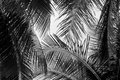 Abstract white and black coconut palms leaf Royalty Free Stock Photo