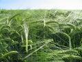 Abstruse wheat field Royalty Free Stock Photo