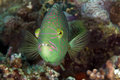 Abudjubbe wrasse (cheilinus abjubbe) in the Red Sea. Royalty Free Stock Photo