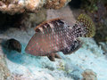 Abudjubbe wrasse in red sea Stock Photography