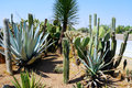Abundance of Mexican cacti Stock Photography