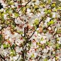 stock image of  Abundantly blooming cherry
