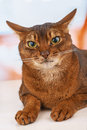 Abyssinian cat Royalty Free Stock Photo