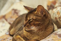 Abyssinian cat with brown a wool with watchfulness looks towards danger Royalty Free Stock Image