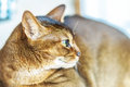 Abyssinian cat with brown a wool with watchfulness looks towards danger Royalty Free Stock Photos