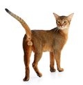 Abyssinian cat isolated on white background purebred Stock Photo