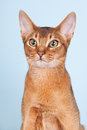 Abyssinian cat portrait of an on blue background Stock Photos