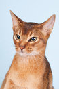 Abyssinian cat portrait of an on blue background Royalty Free Stock Photo