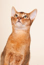 Abyssinian cat portrait of an on cream background Royalty Free Stock Photography