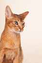 Abyssinian cat portrait of an on cream background Royalty Free Stock Images