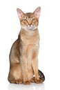 Abyssinian cat portrait on a white background Stock Photography
