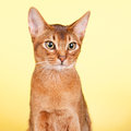 Abyssinian cat portrait of an on yellow background Royalty Free Stock Photography