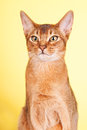 Abyssinian cat portrait of an on yellow background Royalty Free Stock Image