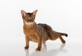 Abyssinian cat ready to attack. Isolated on white background Royalty Free Stock Photo