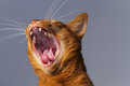Abyssinian cat yawning / roaring Royalty Free Stock Photo