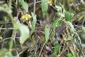 Abyssinian catbird breeding parophasma galinieri bale mountains oromiya ethiopia Stock Photos