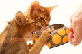 Abyssinian cats want to have food Stock Photos