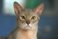 Abyssinian close up head of a cute cat Stock Photos