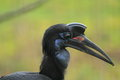 Abyssinian ground hornbill Royalty Free Stock Photography