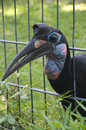 Abyssinian ground hornbill a female or northern Royalty Free Stock Photography