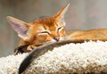 Abyssinian kitten sleeping young ruddy cat Stock Photo
