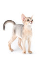 Abyssinian kitten on white background Stock Photo