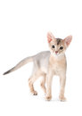 Abyssinian kitten on white background Royalty Free Stock Photography