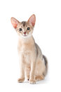 Abyssinian kitten on white background Royalty Free Stock Photo