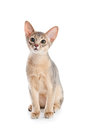 Abyssinian kitten on white background Royalty Free Stock Image