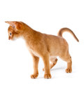 Abyssinian kitten on white background Stock Photography