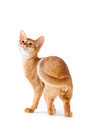 Abyssinian kitten on white background Royalty Free Stock Images