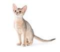 Abyssinian kitten on white background Stock Image