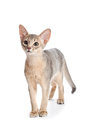 Abyssinian kitten on white background Stock Photos