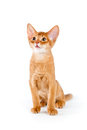 Abyssinian kitten on white background Stock Images