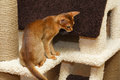 Abyssinian kitten young cat in action Royalty Free Stock Photo