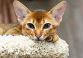 Abyssinian kitten young cat lying at cat tree furniture Stock Images