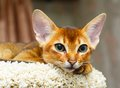 Abyssinian kitten young cat lying at cat tree furniture Stock Photography