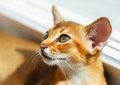 Abyssinian kitten young cat near window sunlight Stock Photos