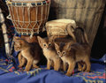 Abyssinian kittens with a djembe in an african set up drums on piece of blue cloth african pattern printed on it Royalty Free Stock Image