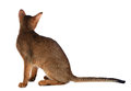 Abyssinian young cat isolated on white background purebred Stock Image
