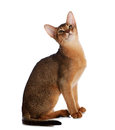 Abyssinian young cat isolated on white background purebred Royalty Free Stock Photo