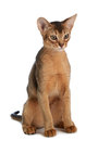 Abyssinian young cat isolated on white background purebred Royalty Free Stock Images